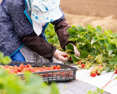 さとほろの収穫作業